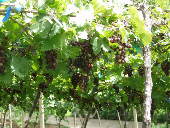 http://www.teawtourthai.com/uploaded/image/prachuapkhirikhan/Grape.jpg